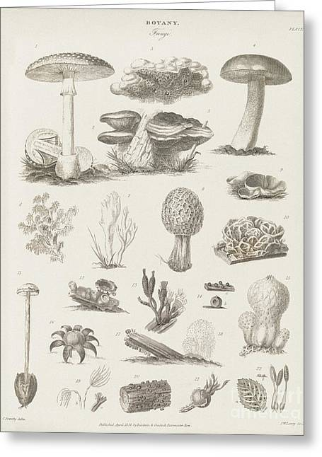 Fruiting Greeting Cards - Fungal Fruiting Bodies, 19th Century Greeting Card by Middle Temple Library