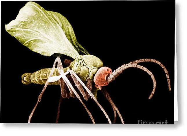 Fungi Greeting Cards - Fungus Gnat Greeting Card by David M. Phillips