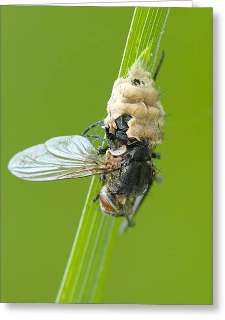 Animal Dispersal Greeting Cards - Fungus parasitising a fly Greeting Card by Science Photo Library