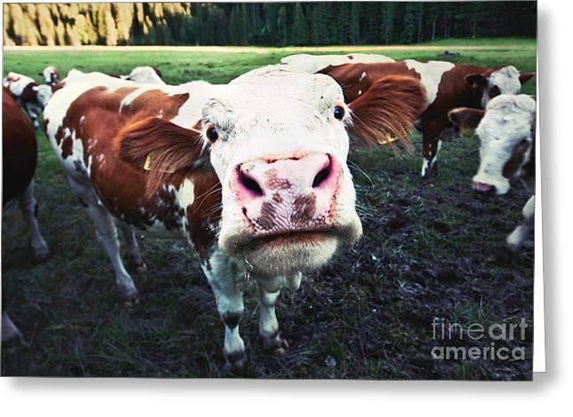 Cattle Photographs Greeting Cards - Funny cow Greeting Card by JR Photography
