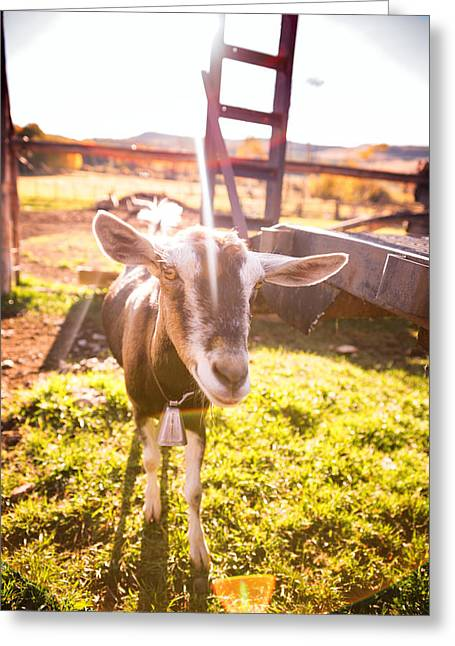 Schmid Greeting Cards - Funny Goat Greeting Card by Robert Ingelhart