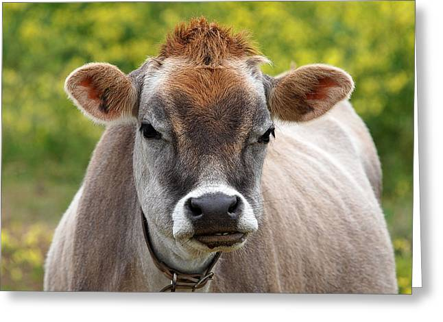 Dairy Farmers And Farming Greeting Cards - Funny Jersey Cow - Horizontal Greeting Card by Gill Billington