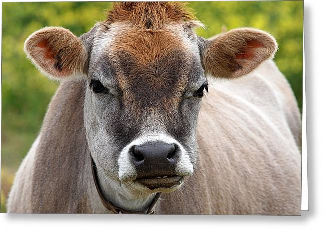 Dairy Farmers And Farming Greeting Cards - Funny Jersey Cow -Square Greeting Card by Gill Billington