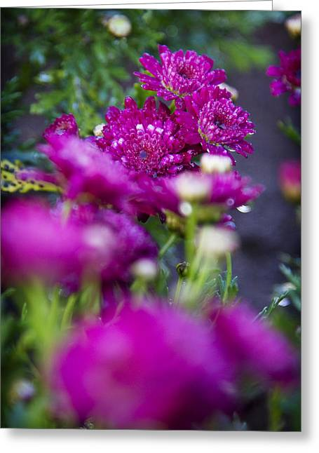 Fuschia Mums 1 Greeting Card by Jessica Velasco