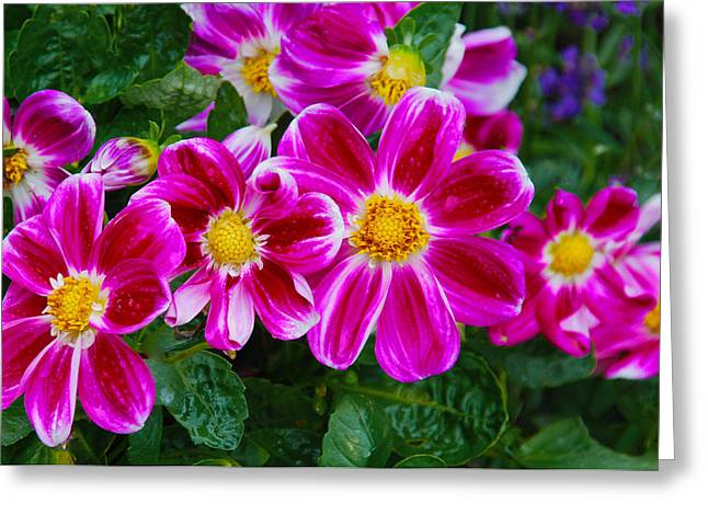 Fushia Greeting Cards - Fushia Zinnias Greeting Card by Pristine Images