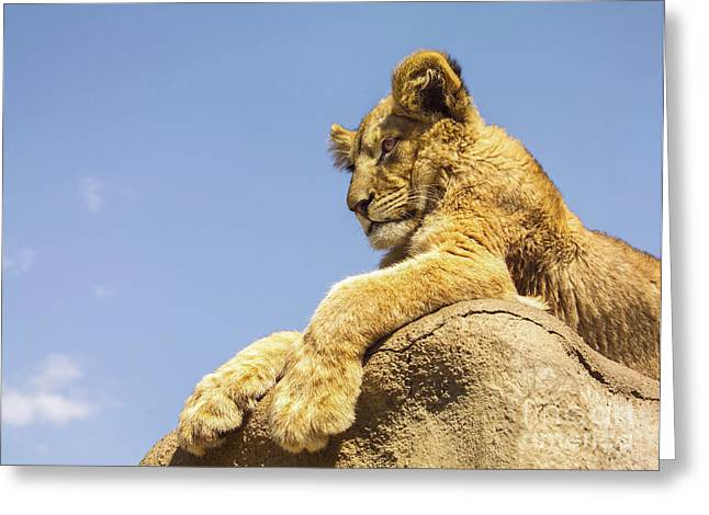 Lions Greeting Cards - Future King Greeting Card by Diane Diederich