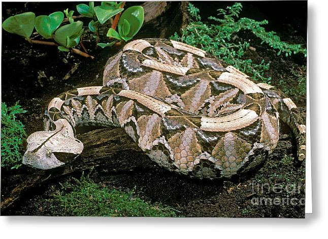 Viper Greeting Cards - Gaboon Viper Greeting Card by ER Degginger