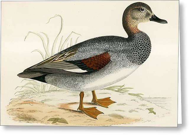 Hunting Bird Greeting Cards - Gadwall Greeting Card by Beverley R. Morris