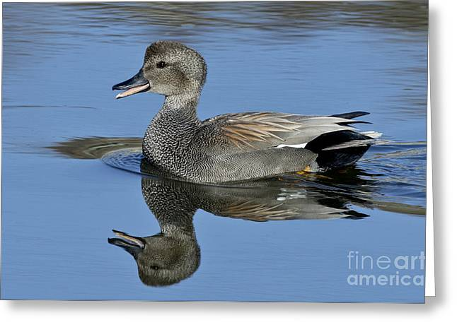 Reflection In Water Greeting Cards - Gadwall Drake Calling Greeting Card by Anthony Mercieca