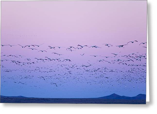 Gaggle Greeting Cards - Gaggle Of Snow Geese In Flight @ Sunset Greeting Card by Michael DeYoung