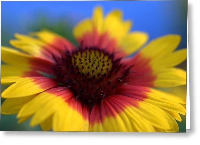 Balloon Flower Greeting Cards - Gailardia Balloon Flower Greeting Card by Nathan Abbott