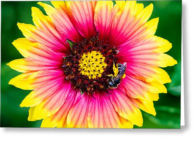 Jacksonville Arboretum Greeting Cards - Gaillardia and a Bee Jacksonville Arboretum and Gardens Florida Greeting Card by Dawna  Moore Photography