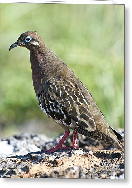 Galapagos Wildlife Greeting Cards - Galapagos Dove Greeting Card by William H. Mullins
