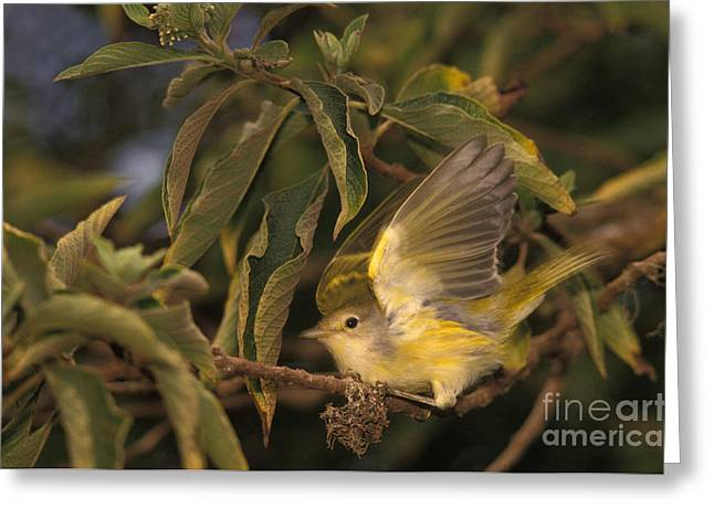 Galapagos Flycatcher Greeting Card by Ron Sanford