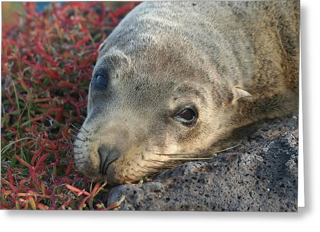 Sea Lions Greeting Cards - Galapagos Sea Lion Greeting Card by Chris Harman