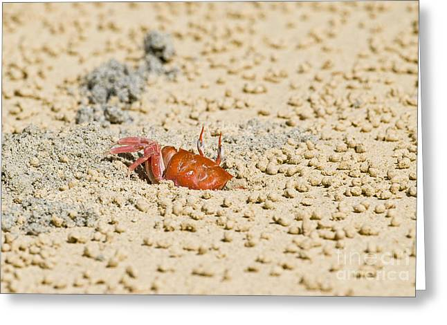 Malacostraca Greeting Cards - Galapagos Ghost Crab Greeting Card by William H. Mullins