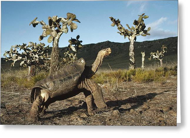 Description Greeting Cards - Galapagos Giant Tortoise And Opuntia Greeting Card by Tui De Roy