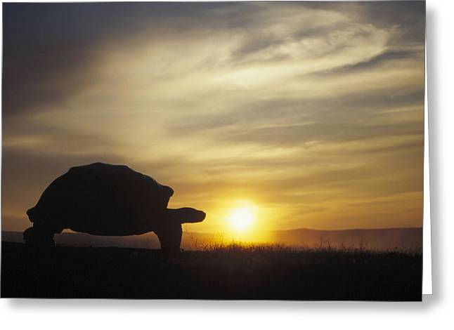 Description Greeting Cards - Galapagos Giant Tortoise At Sunrise Greeting Card by Tui De Roy