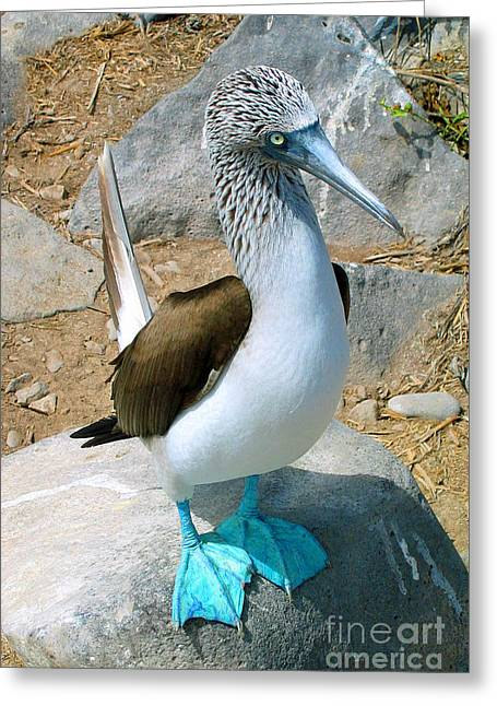Brown Booby Greeting Cards - Galapagos Island Blue Footed Booby Bird 2 Greeting Card by Eva Kaufman