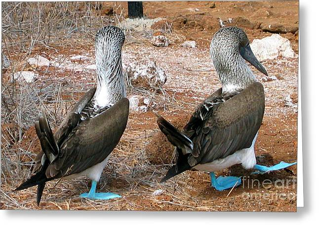 Brown Booby Greeting Cards - Galapagos Island Blue Footed Booby Bird Greeting Card by Eva Kaufman