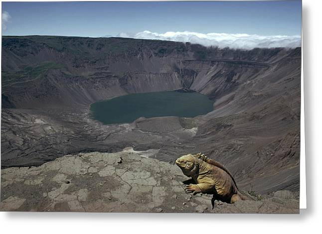 Solitary Activities Greeting Cards - Galapagos Land Iguana Overlooking Greeting Card by Tui De Roy