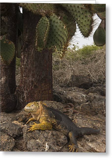 Galapagos Land Iguana South Plaza Greeting Card by Pete Oxford