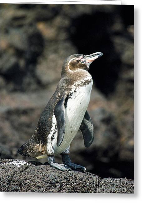 Galapagos Birds Greeting Cards - Galapagos Penguin Greeting Card by William H. Mullins