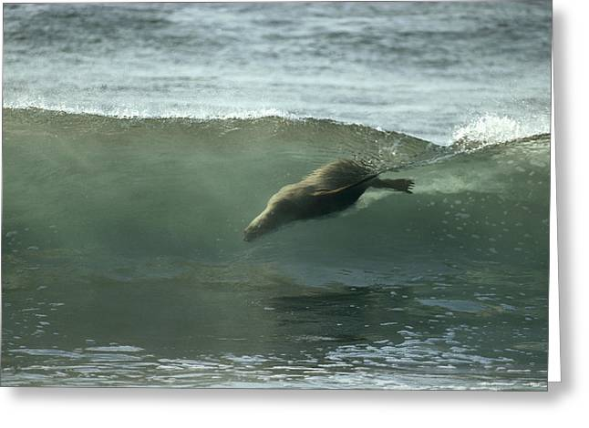 Surfing Photos Greeting Cards - Galapagos Sea Lion Body Surfing Greeting Card by Tui De Roy