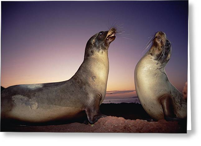 Sea Lions Greeting Cards - Galapagos Sea Lion Bulls Sparring Greeting Card by Tui De Roy