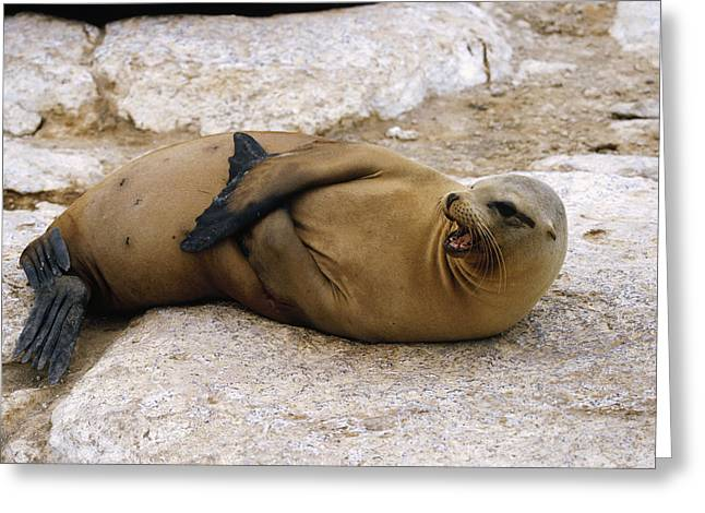 Sea Lions Greeting Cards - Galapagos Sea Lion Calling Greeting Card by Konrad Wothe