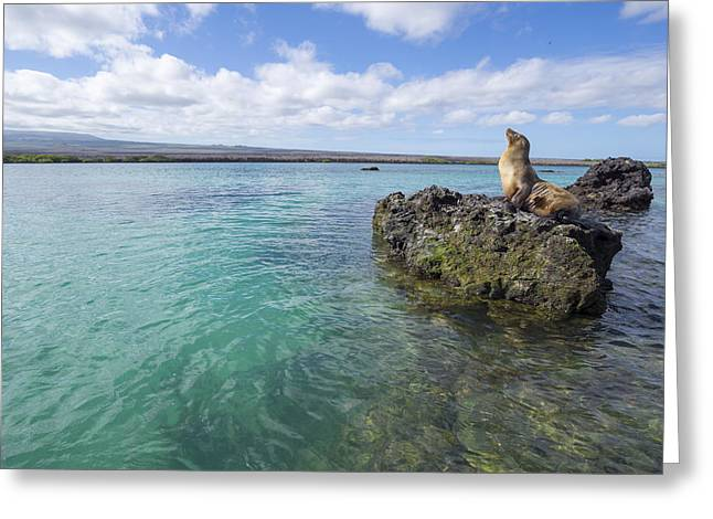 Galapagos Sea Lion Elizabeth Bay Greeting Card by Tui De Roy