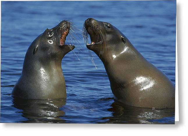 Sea Lions Greeting Cards - Galapagos Sea Lion Females Socializing Greeting Card by Tui De Roy