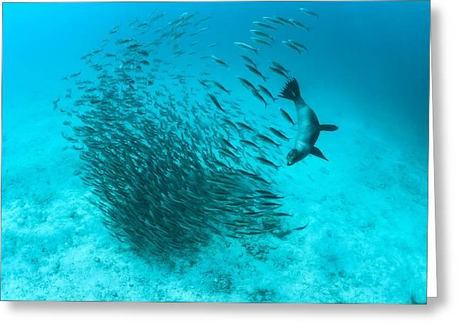 Galapagos Sea Lion Hunting Fish Rabida Greeting Card by Tui De Roy