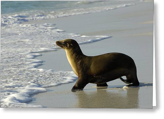 Sea Lions Greeting Cards - Galapagos Sea Lion In Gardner Bay Greeting Card by Pete Oxford