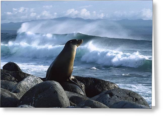 Sea Lions Greeting Cards - Galapagos Sea Lion Greeting Card by Konrad Wothe
