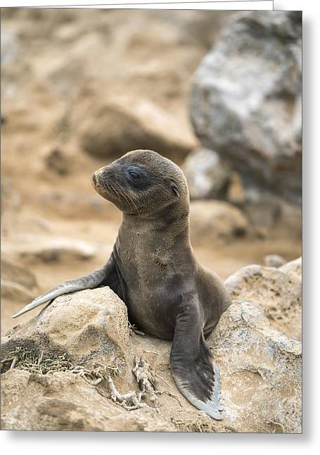 Galapagos Sea Lion Pup Champion Islet Greeting Card by Tui De Roy