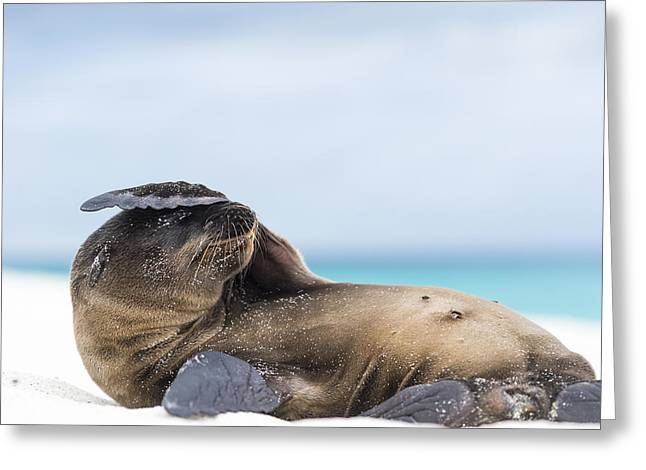 Galapagos Sea Lion Pup Covering Face Greeting Card by Tui De Roy