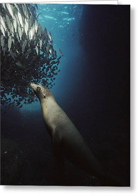 Predating Greeting Cards - Galapagos Sea Lion Pup Fishing Greeting Card by Tui De Roy
