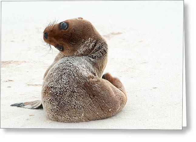 California Sea Lions Greeting Cards - Galapagos Sea Lion Pup Greeting Card by Michael Lustbader