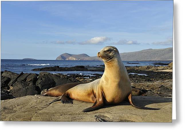 Sea Lions Greeting Cards - Galapagos sea lion resting on a rock Greeting Card by Science Photo Library