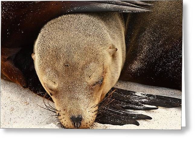 Sea Lions Greeting Cards - Galapagos Sea Lion Greeting Card by Stephanie Brand