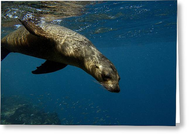 Sea Lions Greeting Cards - Galapagos Sea Lion Swimming Ecuador Greeting Card by Pete Oxford