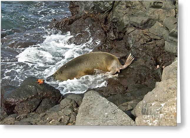 Galapagos Wildlife Greeting Cards - Galapagos Sea Lion Greeting Card by William H. Mullins