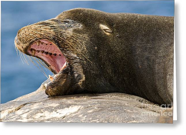 Sea Lions Greeting Cards - Galapagos Sea Lion Yawning Greeting Card by William H. Mullins