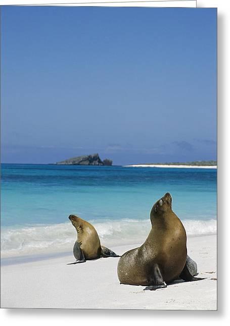 Beach Photos Greeting Cards - Galapagos Sea Lions On Beach Galapagos Greeting Card by Tui De Roy