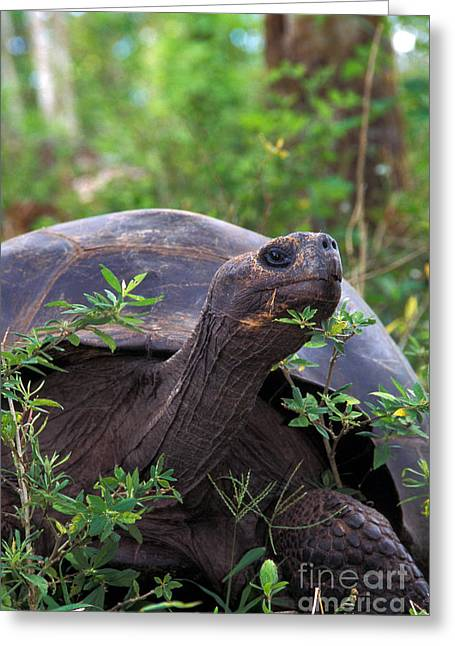 Galapagos Tortoise Greeting Card by Mark Newman
