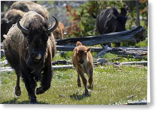 Gallopin Bison Mom And Calf Greeting Card by Bruce Gourley