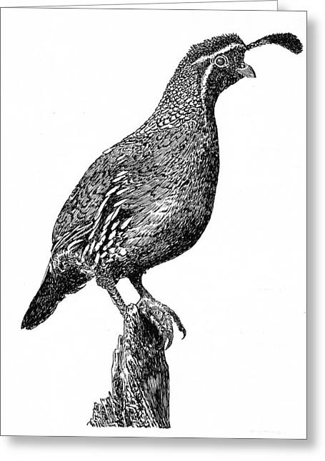 White River Drawings Greeting Cards - Gambel Quail Greeting Card by Jack Pumphrey