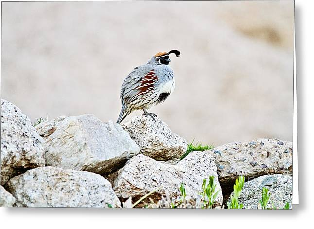 Gambel's Quail Greeting Card by Scott Pellegrin