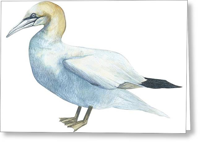 White Background Drawings Greeting Cards - Gannet  Greeting Card by Anonymous